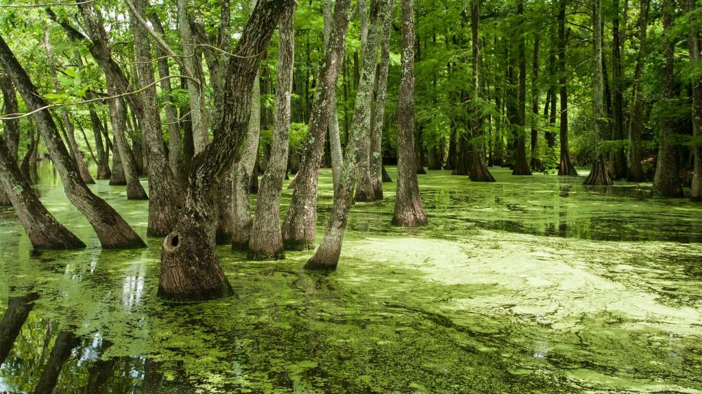 Pictured is Lake Chicot State Park's flooded cypress and tupelo swamp.