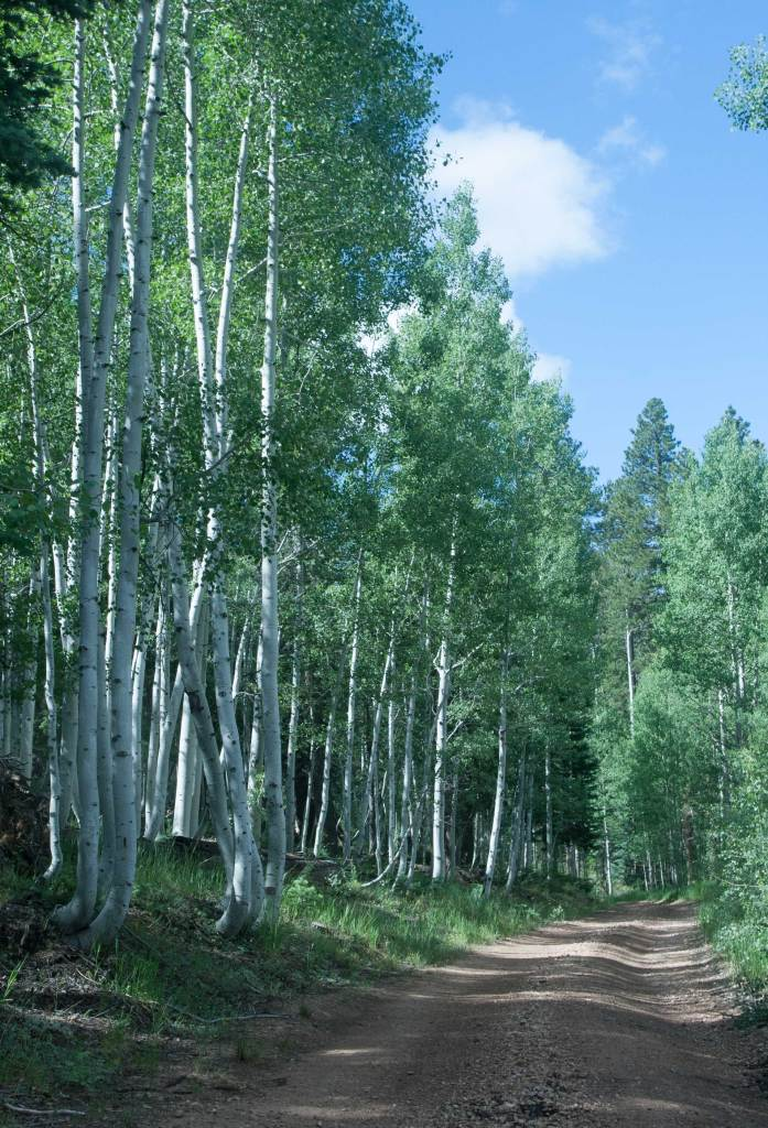 Traveling a forest trail through the aspens.