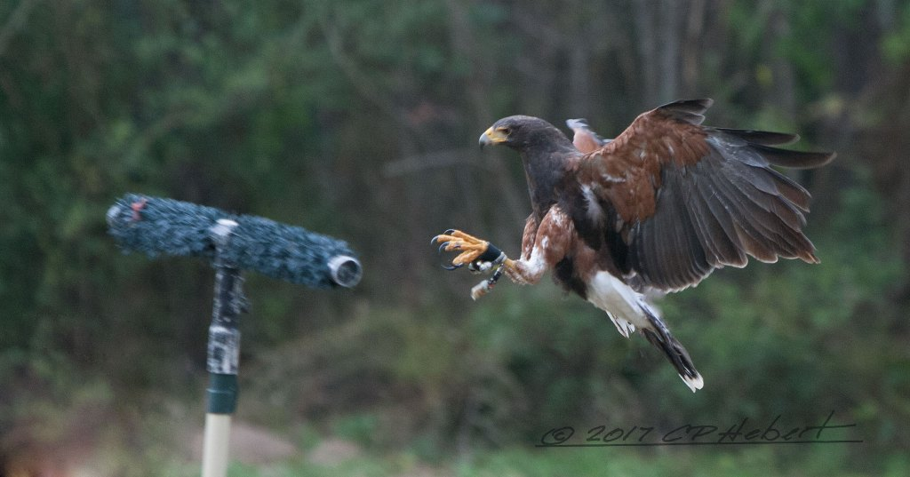This Harris Hawk is one of four that fly around, at the same time, during the demonstration.