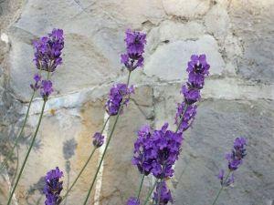 fiori di lavanda loricata