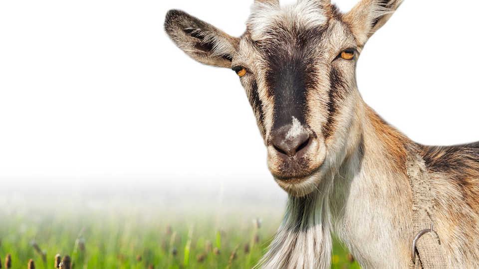 nightlife goat nightlife california
