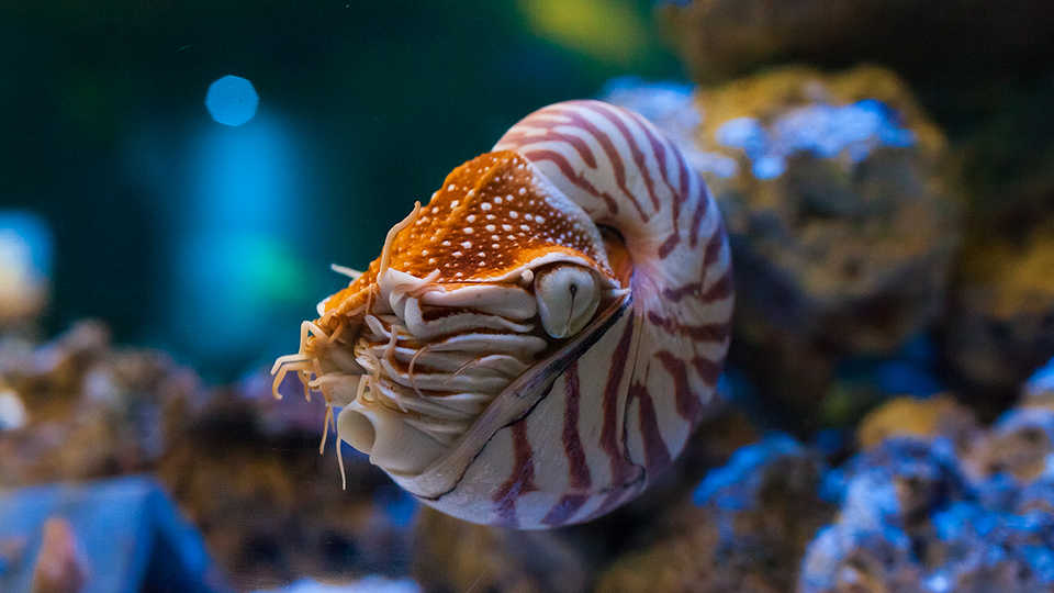 Gift Wallpaper Hd Chambered Nautilus California Academy Of Sciences