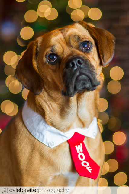 A Puggle and a Christmas tree - How to take better Christmas photos