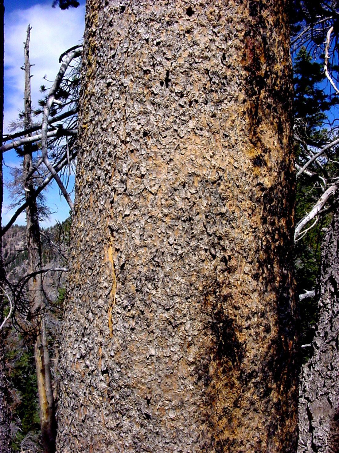 Trees 1 Coniferous trees