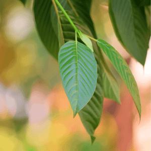 kratom leaf orgins