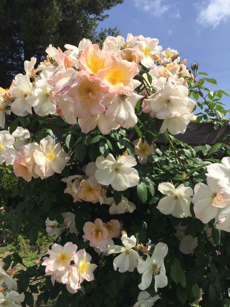 Sally May Roses