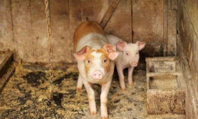 Vietnam culls over 1.2mn pigs infected with African swine fever