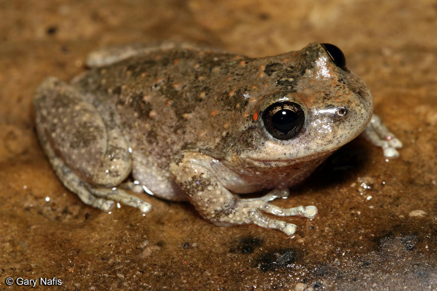 Image result for brown spotted toad california