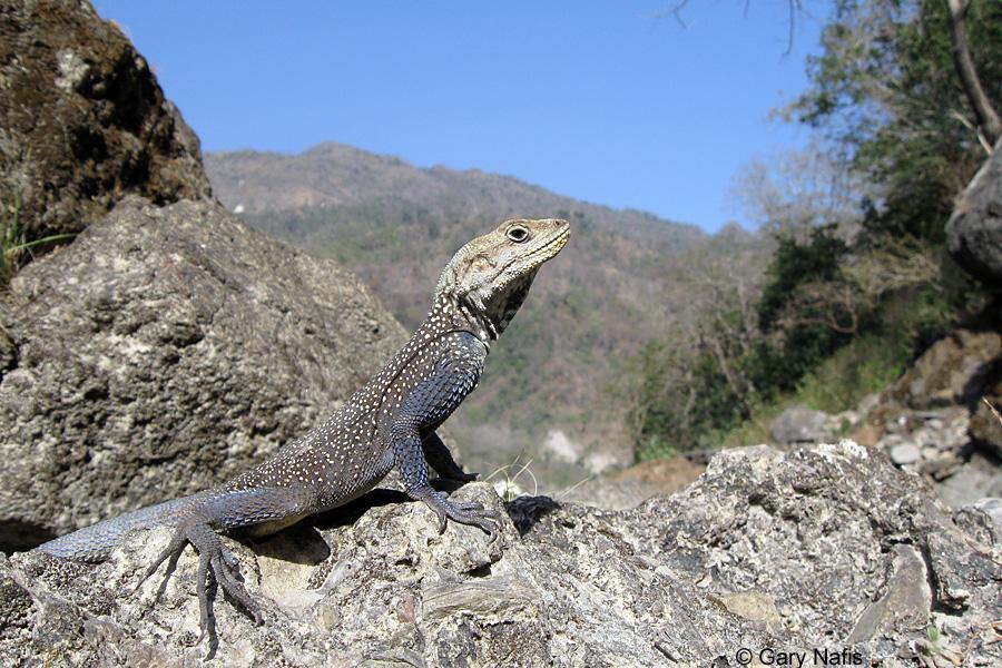 A lizard doing a territorial display push-up.