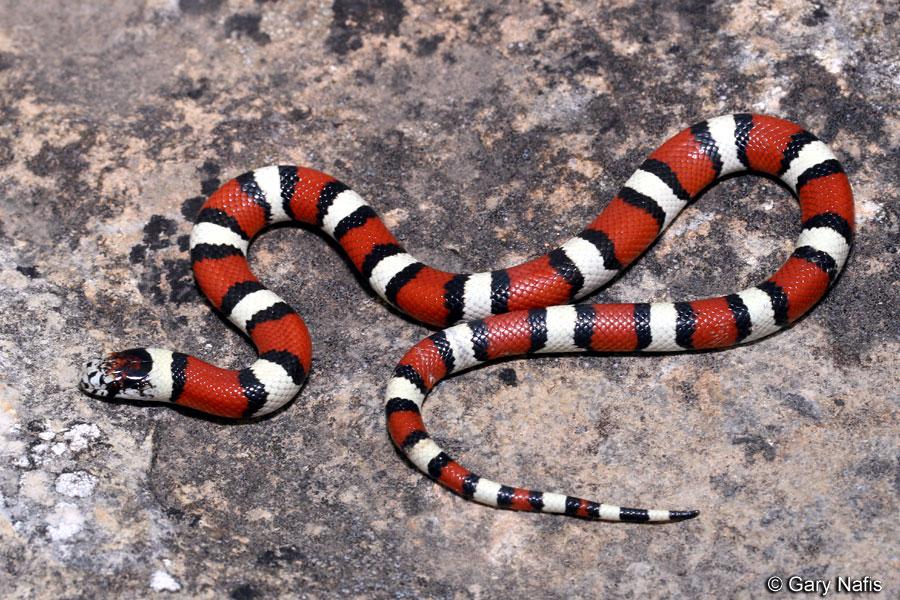 Image result for milk snake