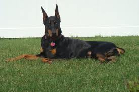 Pricked ears Doberman