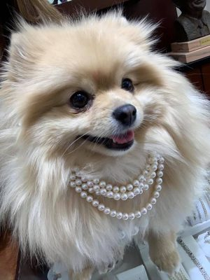 Small pomeranian in three rows of pearl jewelry