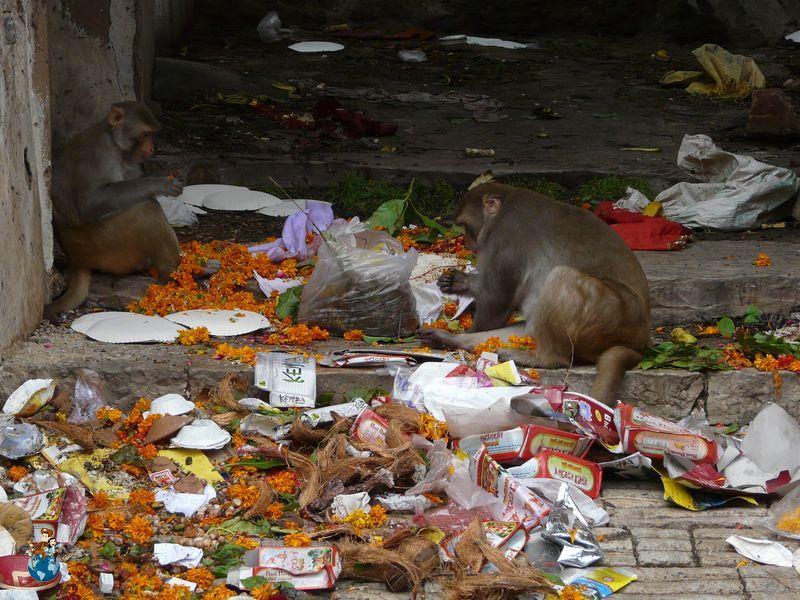 Monos en India