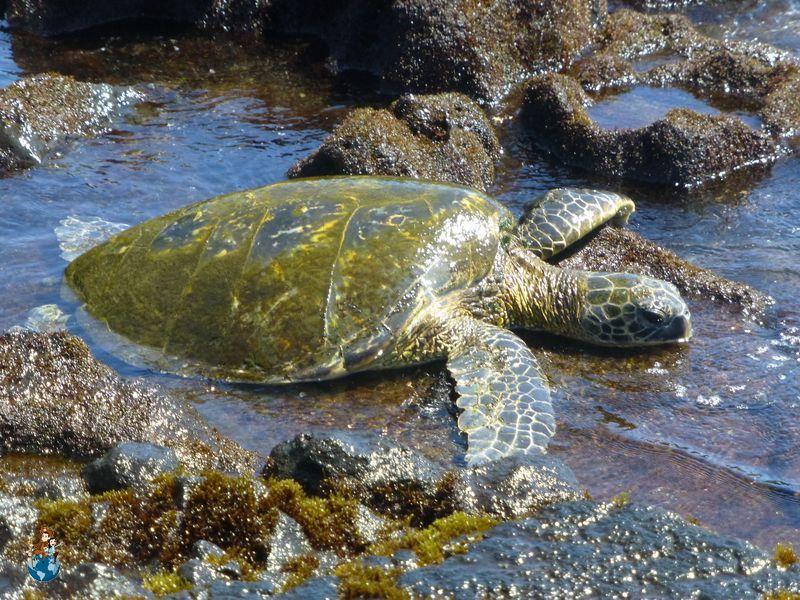 Tortuga verde en Punalu'u Black Sand Beach