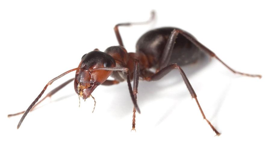 Acrobat Ants  Identification  Environment  Threats