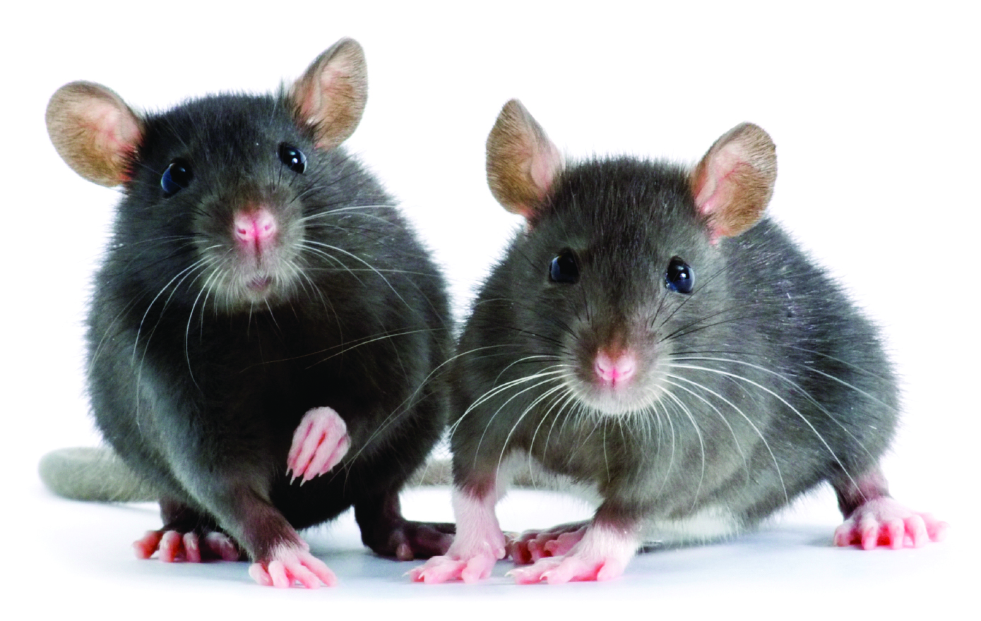 4 Diseases Caused by Rodent Droppings | Northwest Exterminating