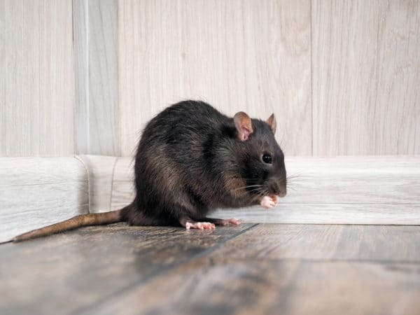 Fact or Fiction: Rats Can Make You Sick | Rodent Control