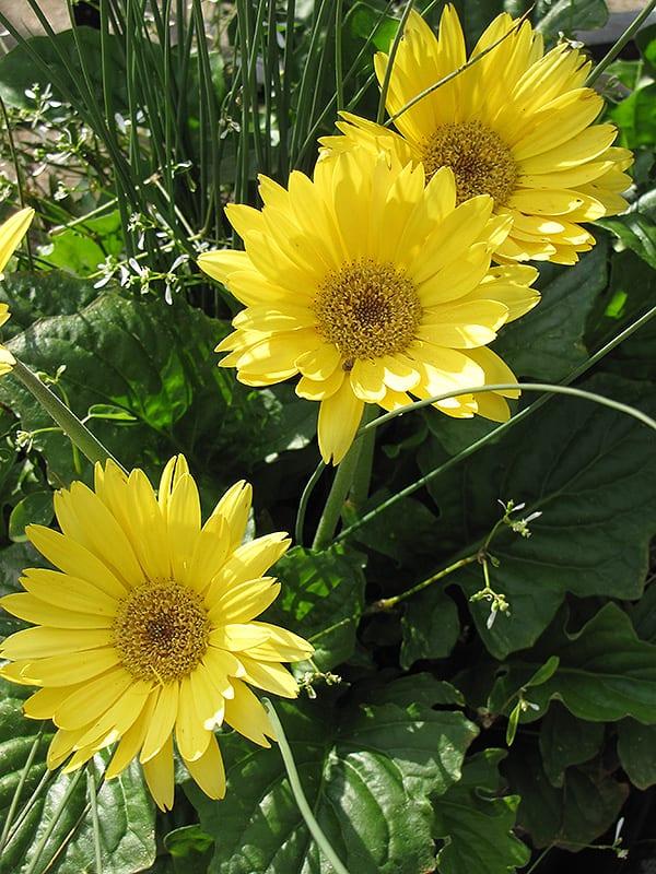 Yellow Gerbera Daisy Plant