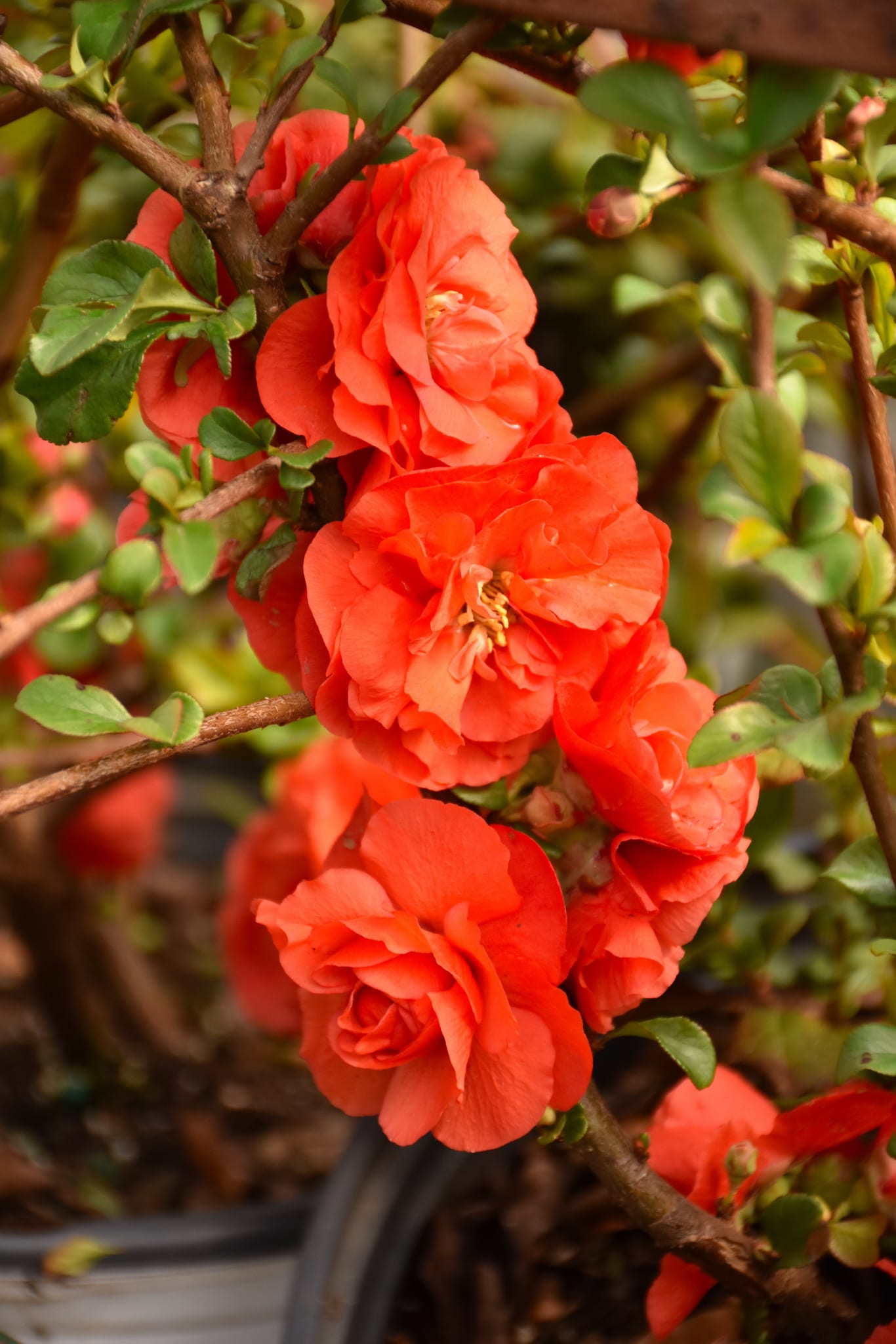 Double Take Orange Flowering Quince  Calloways Nursery