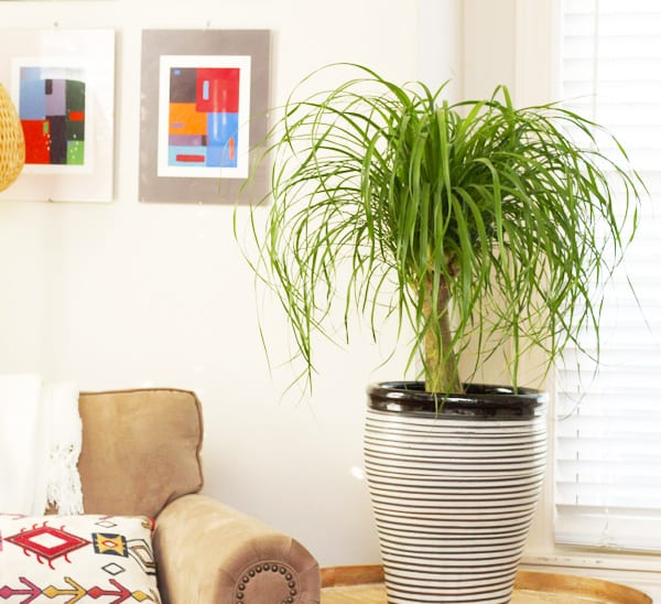 5 Tall Indoor Plants For Your Home Calloway S Nursery