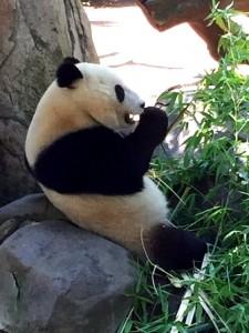 panda-at-zoo-2