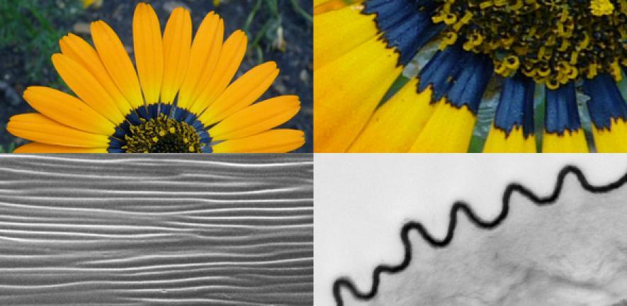 petals produce a blue