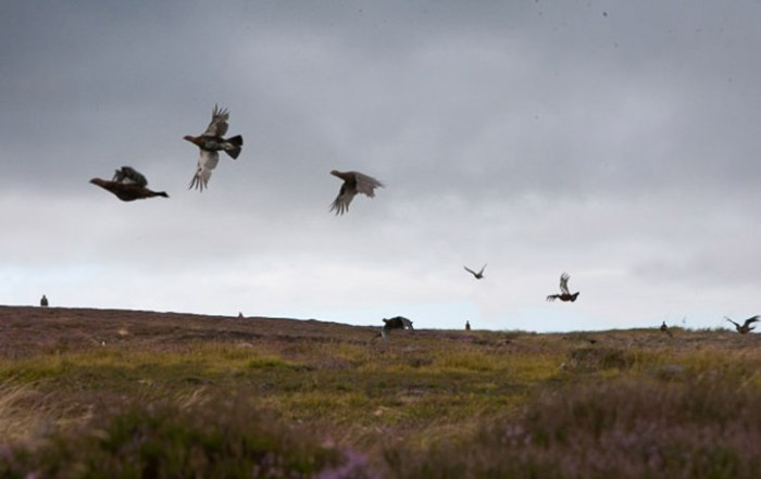 Grouse Shooting Season