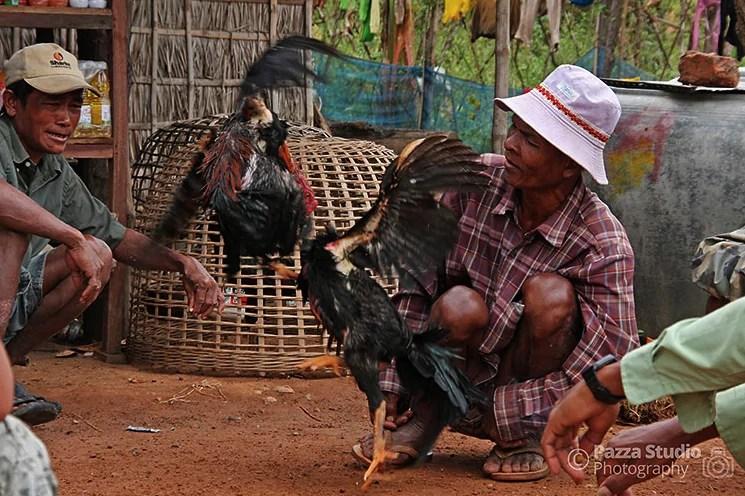 Cockfighting-Cambodia