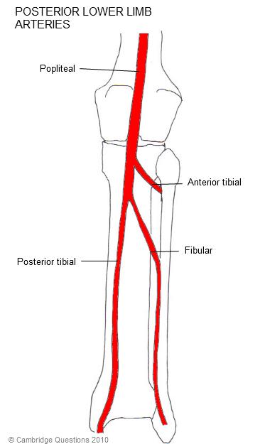 vascular anatomy diagram lower 2004 kia spectra stereo wiring cambridge questions arteries posterior limb