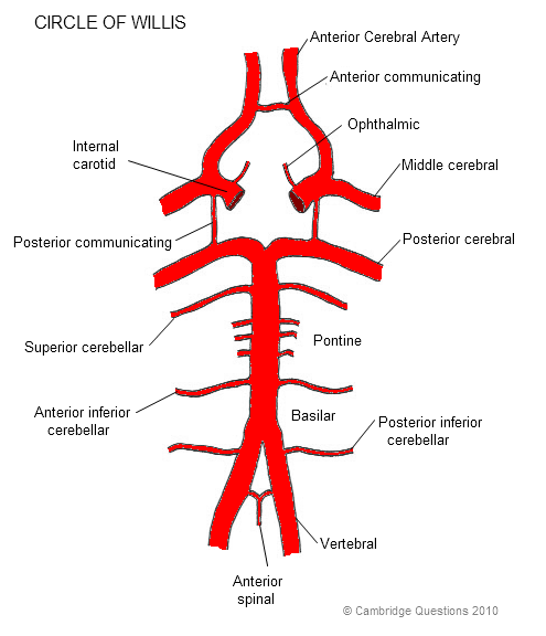 coronary arteries diagram branches stages mitosis label cambridge questions