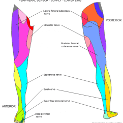 Lower Leg Nerve Diagram Thermostat Heater Wiring Cambridge Questions