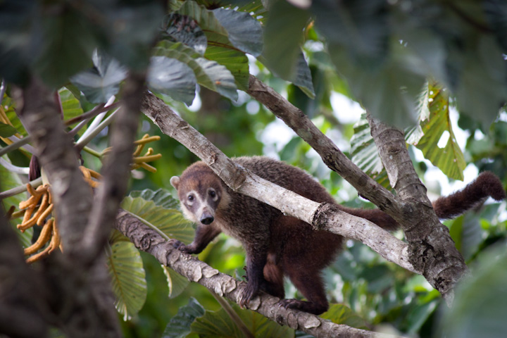 Coati in Panama