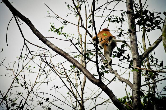 Proboscis Monkeys in Brunei