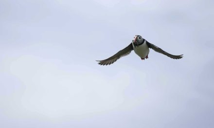 Sony A9 vs Puffin: Photographing birds with the Sony A9