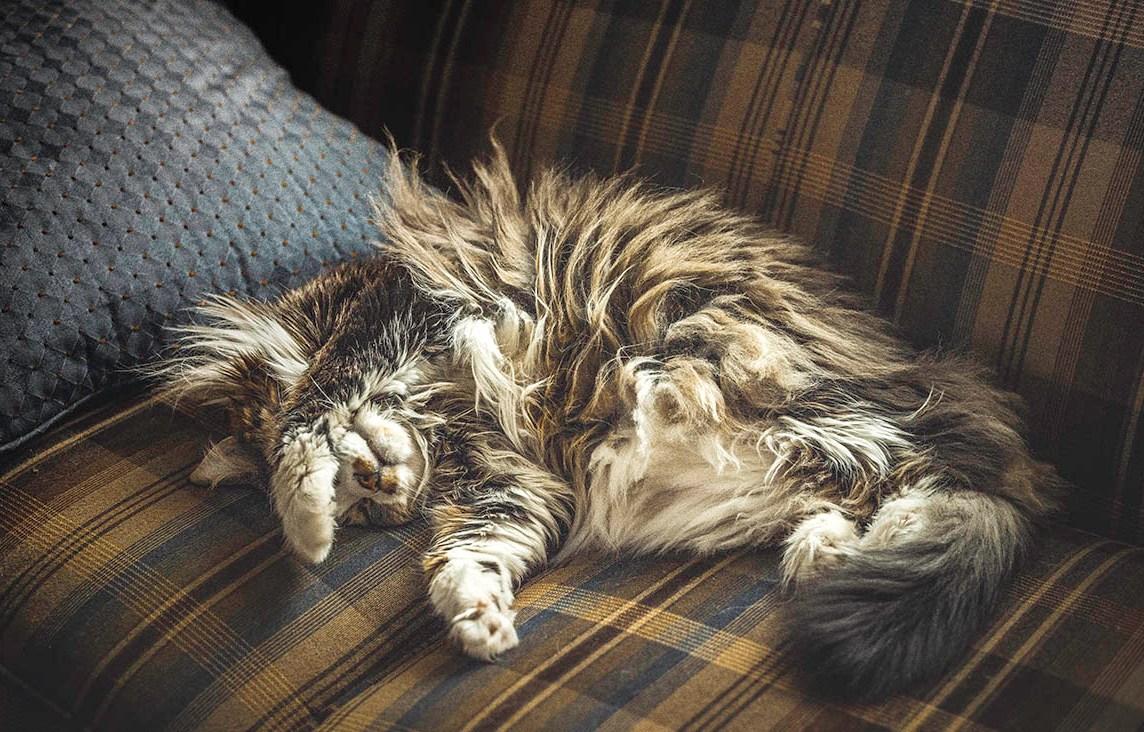 Oliver the Diabetic Cat