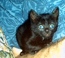 The new miracle kitten in our lives with big blue eyes at about 5-6 weeks of age, photo by Lorelle VanFossen