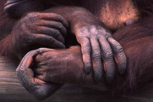 orangatan hands, mother and child, photograph by Lorelle VanFossen
