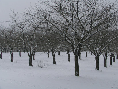 Snow in orchard, Gaston, Oregon, 2007, Photograph copyright Brent VanFossen