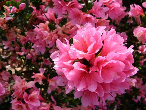 Azaleas at Bellingrath Plantation Garden, Mobile, Alabama, by Lorelle VanFossen