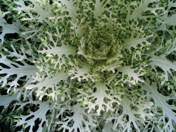 kale ornamental bellingrath garden mobile alabama lorelle vanfossen 2006