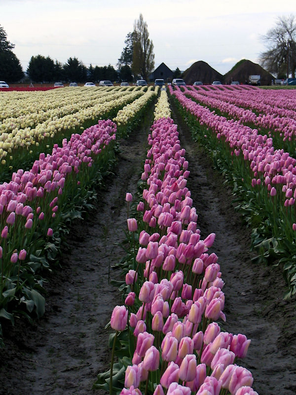 Skagit Valley Tulip Festival rows of pink and yellow, photograph by Lorelle VanFossen
