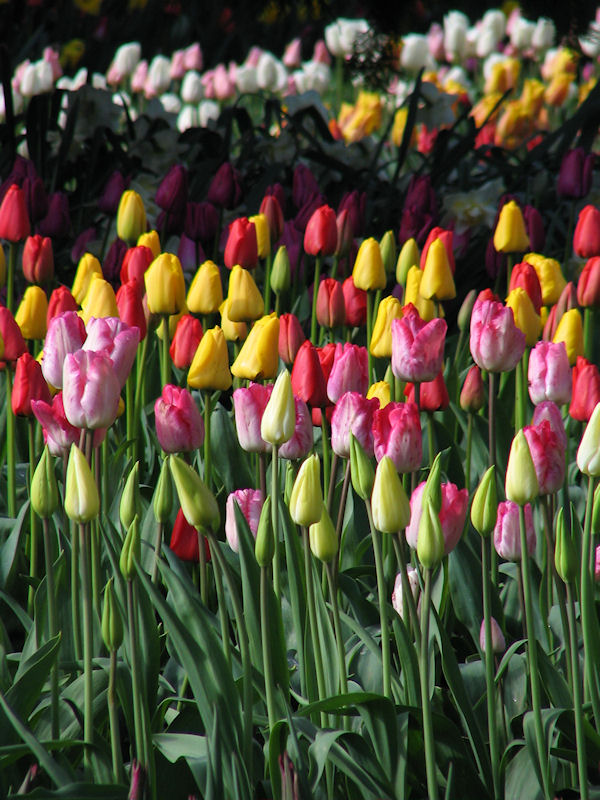 Rows of tulips of all colors, by lorelle vanfossen