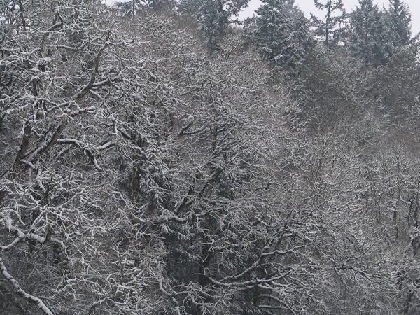 lacy snow covered trees, gaston, oregon, by Lorelle VanFossen