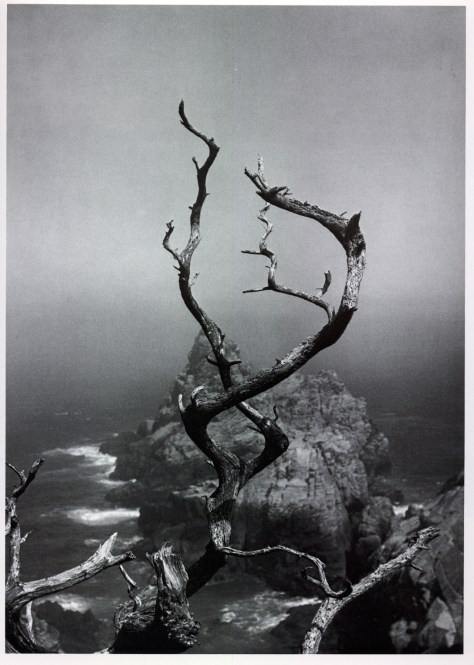Twisted Tree, Point Lobos, by Minor White