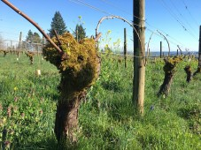 old non-irrigated vine