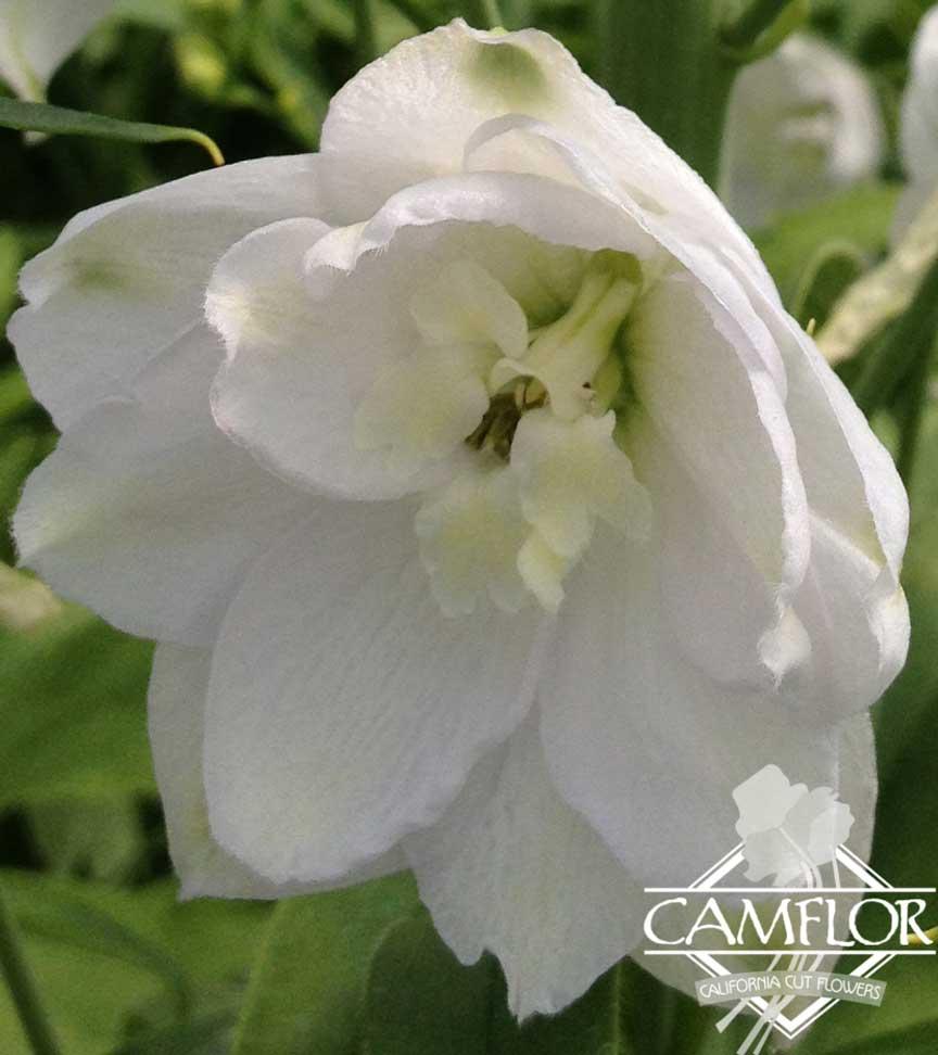 Delphinium Hybrid White Camflor Inc