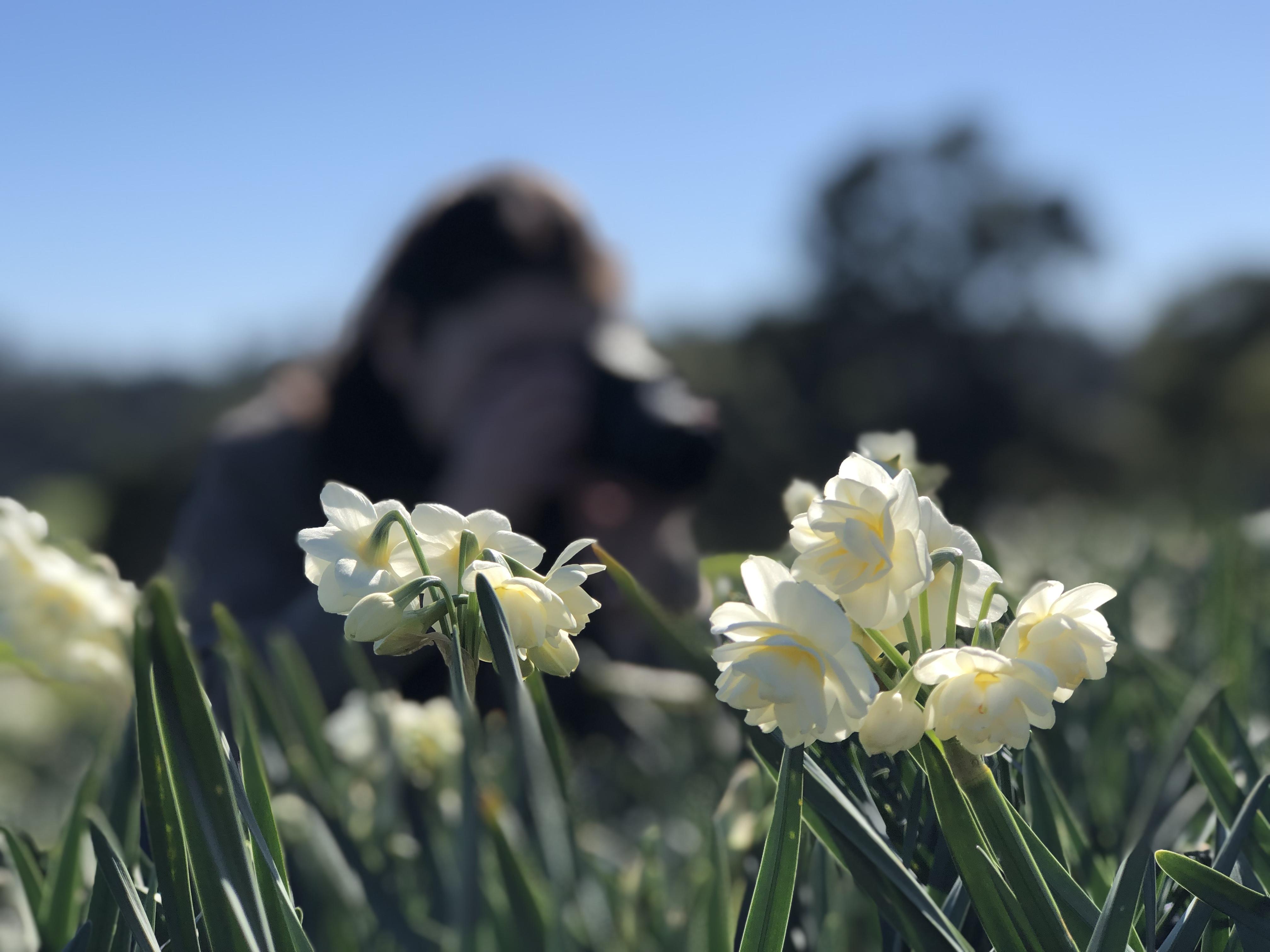 Narcissus Cheerfulness (2)