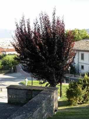Cizur Minor 27 tree beside the church