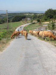 Sarria - Portomarin 10 cows