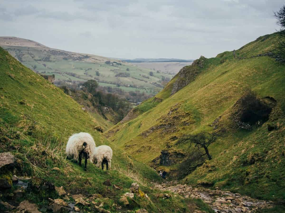 Sheep along The Pennine Way